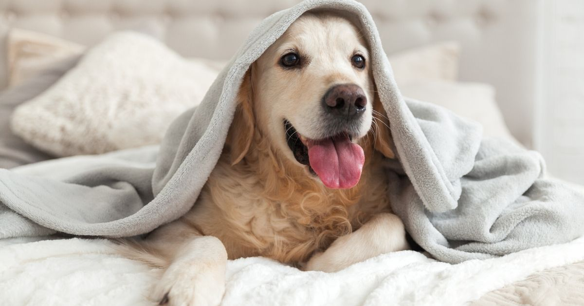 photo of a golden retriever with tongue out underneath blanket on the bed