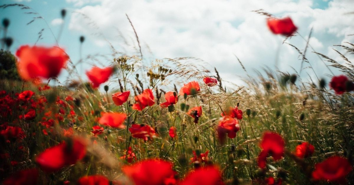 a field of red poppies symbolising tally poppy syndrome