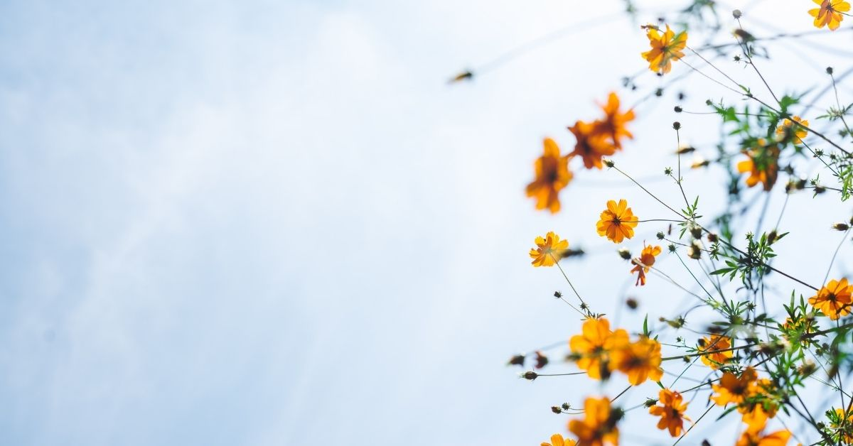 yellow flowers against a light blue sky