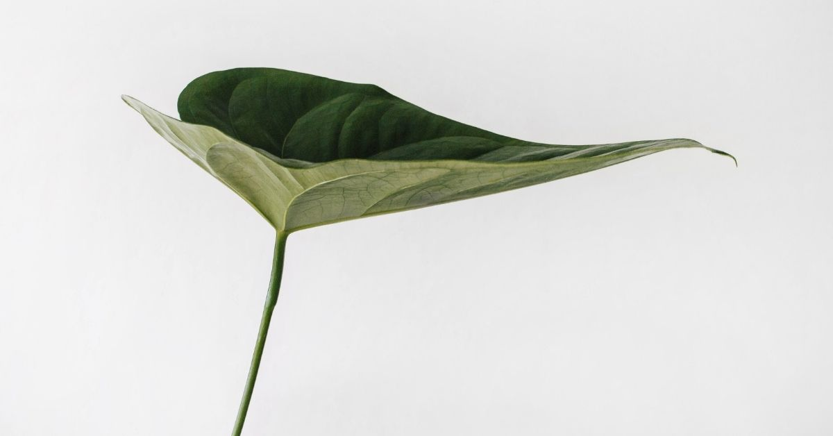 a green leaf on white background